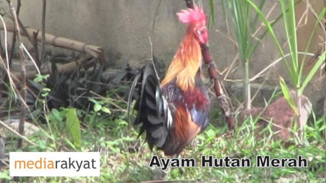 Ayam Hutan Merah or Red Junglefowl In Petaling Jaya Malaysia