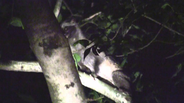 Civet Or Musang At Bukit Gasing, Petaling Jaya