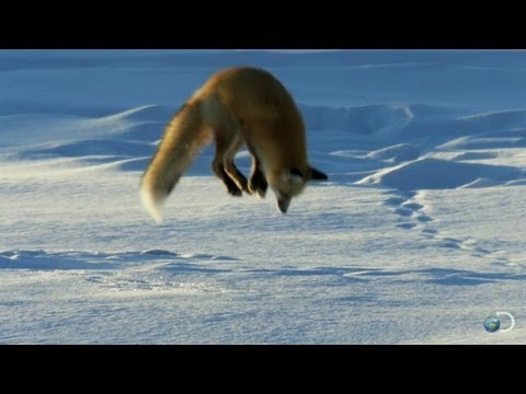 Interesting: Fox Dives Headfirst Into Snow