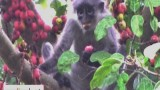 Monkeys' Fig Fruit Dinner 猴子的无花果晚餐