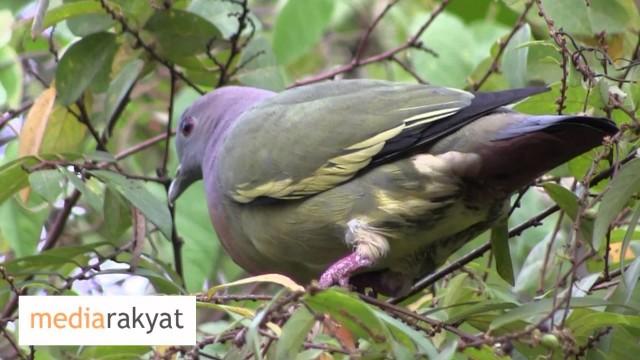Pink-Necked Green Pigeon At Bukit Gasing